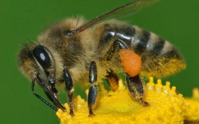 Come fanno le api a volare con quelle piccole ali?