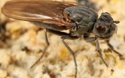 La mosca che sopravvive nel lago Mono!