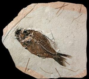 2 tipi di fossili datati non interessati a datazione in questo momento